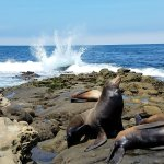 sea lions with ocean crashing in the background