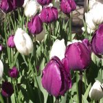 COASTAL MAINE BOTANICAL GARDENS - MOOD INDIGO TULIPS