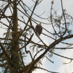 A bald eagle in a tree at the end of the wharf.
