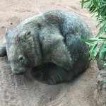Wombat @ Featherdale Wildlife Park