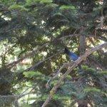 Stellers Jay Yosemite