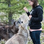 Our guide with the a few of the Wolfdogs in their enclosure