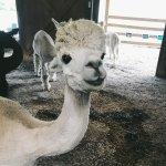Adorable and friendly alpacas!