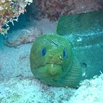Green Moray at Angelfish Reef