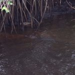 Sharing the Loxahatchee River with a gator