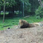 An excited lion (he's awake!)