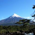 Osorno volcano and 'bonsai' tree