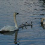 Swans and baby swans on the lake out front