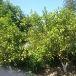 Orange, lemon and apricot trees outside our apartments.
