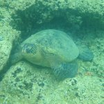 Turtle in our snorkelling area away from the sandbar