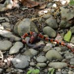 Lunch time for a very rare Coral snake !