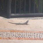 Iguanes présent à beaucoup d,endroits