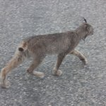 Lynx side of van