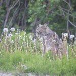 Lynx on the prowl