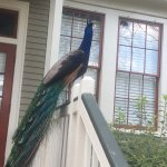 Peacock just chilling