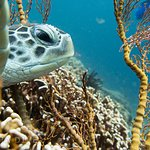 green turtle on Halik dive-site, the most colourfull dive around the Gilis
