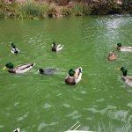 Ducks at Stowe Lake