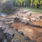 Views from the Kwena Crocodile Farm for a feeding show