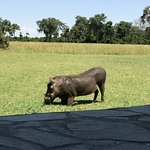 The wart hog was playing in front of our camp.