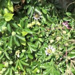Passion flower bush, many buds about to open...