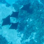 Eagle rays out off the reef, they are not there all the time