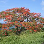 The Flamboyant tree grows all over the island and at the resort.