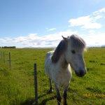 Cute icelandic horse