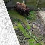 Poor bison in algae covered water source
