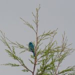 A Verditer flycatcher (Eumyias thalassinus) seen at the hotel