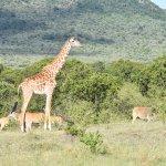 Giraffes on a morning drive