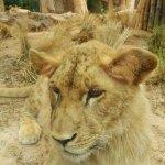 Impresionantes los leones, pegados al cristal y tranquilisimos!