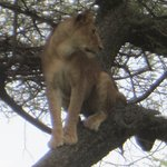 Tree climbing lion of Lake Manyara.