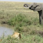 A lion and elephant encounter