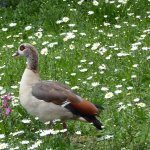 Regal Egyptian Duck