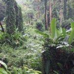 Huge plants and trees along Manoa falls trail