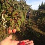 rasberry plantation