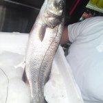 λαβράκι-Sea bass