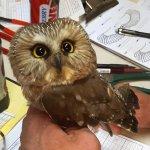 Northern Saw-whet Owl during night time banding visit