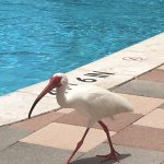 Ibis walking around the pool
