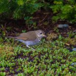 Bicknell's Thrush seen just down the road, at Mt Washington :)