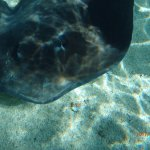 Rays and sharks swim all around you