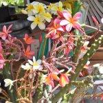 I will be selling Plumeria plants fragrant