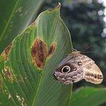 Great Owl Butterfly on Leaf