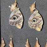 Great Owl Butterflies Breaking Free from Chrysalis