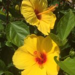 lovely hibiscus, part of the colorful landscaping on hotel premises