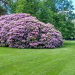Gigantic rhododendron