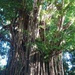 Old Enchanted Balete Tree Foto
