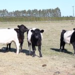 Heritage cattle breed - Belted Galloways near Darfield.