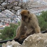 Macaque on the Rock of Gibraltar