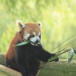 Red Panda that I fed